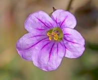 Różowy kwiat, purpurowe żyły, kolor żółty zapylał stamen Zdjęcie Royalty Free