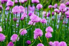 Różowy kwiat szczypiorki, Allium schoenoprasum obraz stock