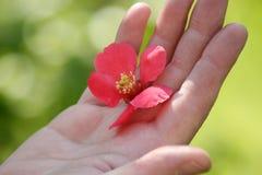 Różowy kwiat w żeńskiej ręce Zdjęcia Stock