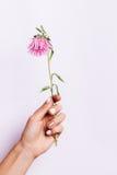 Różowy kwiat w żeńskiej ręce z manicure'em na różowym backgroun Fotografia Stock
