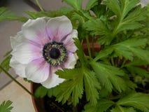 Różowy kwiat w flowerpot anemon zdjęcia stock