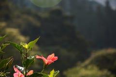 Różowy kwiat w słońcu Zdjęcie Stock