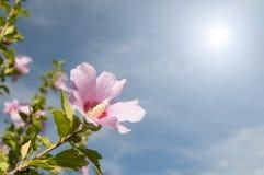 Różowy kwiat w wiośnie Obraz Royalty Free