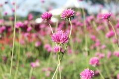 Różowy kwiat w zamazanym tle i ogródzie zdjęcie royalty free