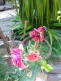 Różowy kwiat więdnący Obrazy Royalty Free