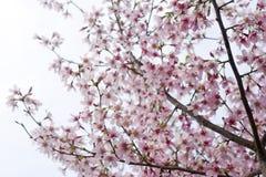 różowy kwiat wiśni i czereśni obraz stock