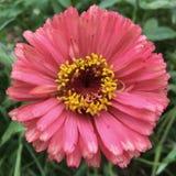 Różowy kwiat z kolor żółty centrum Obraz Royalty Free
