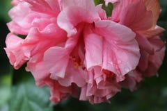 Różowy kwiat z kroplami i bluried tłem obraz royalty free