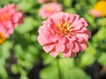 Różowy kwiat z plamy tłem Obrazy Royalty Free
