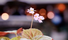 Różowy kwiat z plamy tłem Zdjęcie Royalty Free