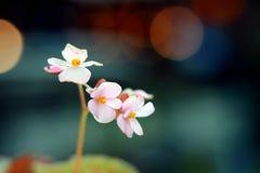 Różowy kwiat z plamy tłem Zdjęcia Stock