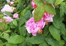 Różowy kwiat z podeszczową wodą krzak wzrastał fotografia royalty free