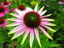 Różowy kwiat z wapno zieleni porady płatkami Obraz Stock