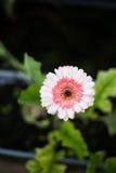 Różowy kwiat z zamazanym tłem Obrazy Royalty Free