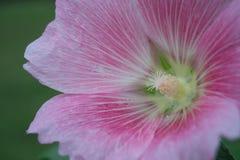 różowy kwiat zamknięcia, Obrazy Stock