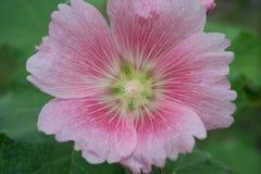różowy kwiat zamknięcia, Fotografia Royalty Free