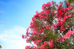 Różowy kwiatonośny Bush z oleandrowymi kwiatami obraz royalty free
