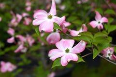 Różowy Kwiatonośny Dereniowy drzewo fotografia royalty free