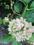Różowy kwiatonośny krzak Obraz Royalty Free