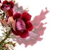 Różowy kwiatu Abricà ³ De Macaco lub Couroupita Guianensis, fotografia stock