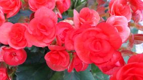 Różowy kwiatu bukiet, urodzony jako krzak, układający w garnku dla tło wizerunku, Obraz Stock