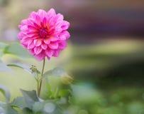 Różowy kwiatu dorośnięcie w zielonej roślinie Zdjęcia Royalty Free