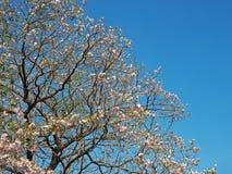 Różowy kwiatu drzewo z niebieskim niebem zdjęcie stock