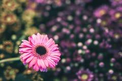 Różowy kwiatu gerbera ampuły rozmiar zdjęcia royalty free