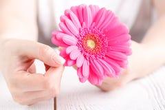 Różowy kwiatu gerbera w kobiet rękach, zamyka w górę widok opieki żeńskiego pojęcia Zdjęcia Stock