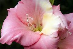 Różowy kwiatu gladiolus verdure pozyskiwania środowisk gentile Tekstury zamknięta up plama Obraz Stock