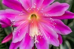 Różowy kwiatu hybryd Epiphyllum obraz stock