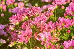 Różowy kwiatu krzak z światłem słonecznym Zdjęcia Royalty Free