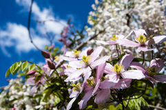Różowy kwiatu ogród z głębokim niebieskiego nieba tłem Zdjęcie Stock