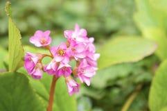 Różowy kwiatu okwitnięcie na zielonym tle Zdjęcie Stock