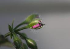 Różowy kwiatu pączek Zdjęcia Stock