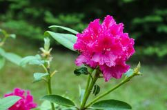 Różowy kwiatu różanecznik na ogródzie obrazy stock