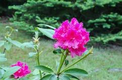 Różowy kwiatu różanecznik na ogródzie zdjęcie stock