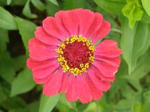Różowy kwiatu szczegół obrazy royalty free