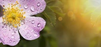 Różowy kwiatu sztandar zdjęcia stock
