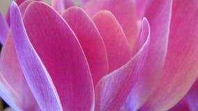 Różowy kwiatu tło Obraz Stock