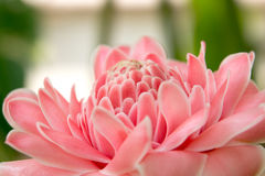 Różowy kwiatu widoku tło 440 Obrazy Royalty Free