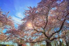 Różowy kwitnący czereśniowy drzewo Fotografia Royalty Free