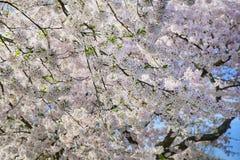 Różowy kwitnący drzewo Obrazy Royalty Free