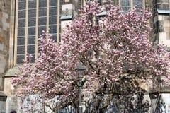Różowy kwitnący drzewo przed katedrą fotografia royalty free