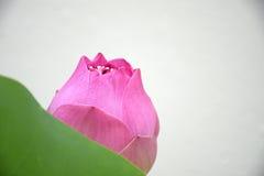 Różowy kwitnący lotos Zdjęcia Royalty Free