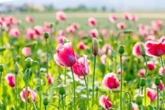Różowy kwitnący maczek, ogromny pole kwitnąć kwitnie Zdjęcia Royalty Free
