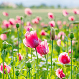 Różowy kwitnący maczek, ogromny pole kwitnąć kwitnie Zdjęcia Stock