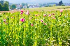 Różowy kwitnący maczek, ogromny pole kwitnąć kwitnie Fotografia Royalty Free