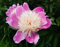 Różowy kwitnący peonia kwiat na ciemnym tle Zdjęcie Stock