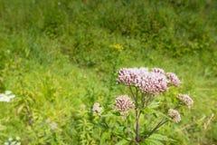 Różowy kwitnący Pospolity Konopiany Agrimony Zdjęcia Stock